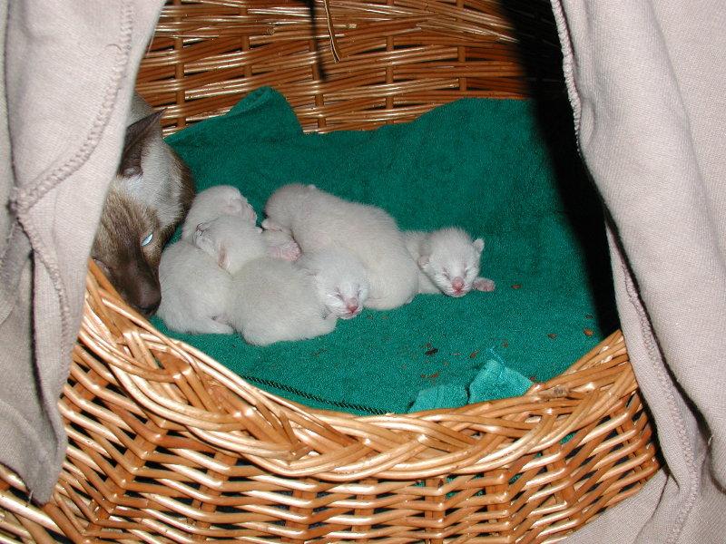 Benjis Thaikätzchen nach der Geburt!